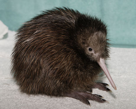 Curiosity corner: The tale of two kiwis — bird and fruit ...
